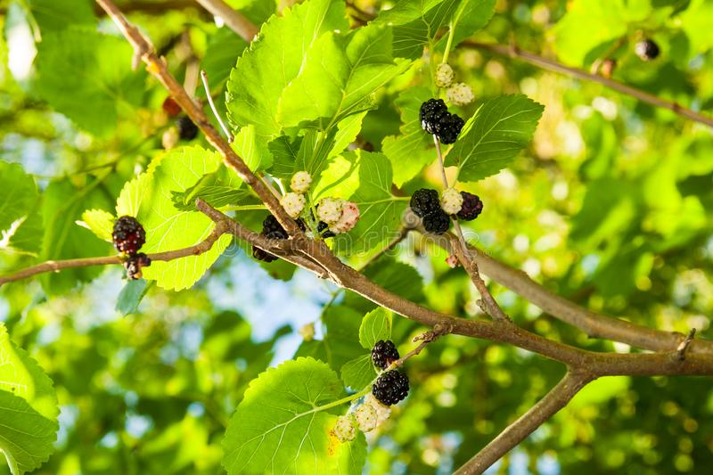 Mullbärsträdet på träd är bärfrukt i natur arkivbilder