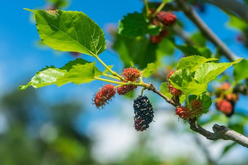 Mullbärsträdet på träd är bärfrukt i natur royaltyfri fotografi