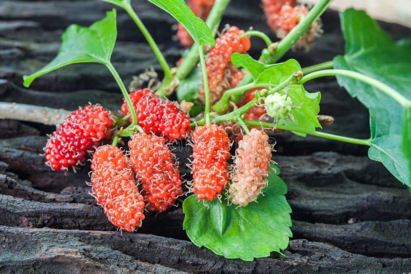 Mullbärsträdfrukt på träbakgrund selektivt royaltyfria bilder