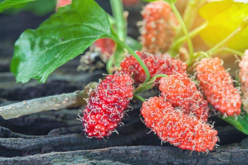 Mullbärsträdfrukt på träbakgrund selektivt arkivfoto