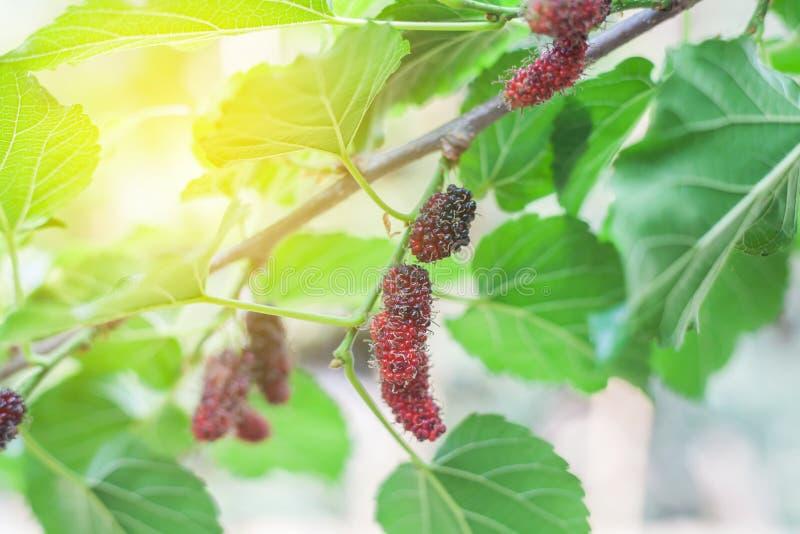 Mullbärsträdfrukt på trädet, bär i natur, arkivbilder