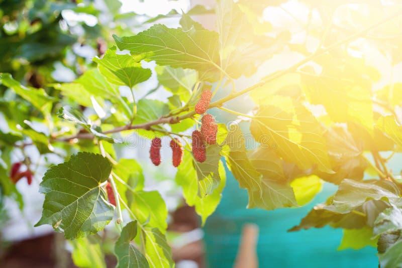 Mullbärsträdfrukt på trädet, bär i natur, fotografering för bildbyråer