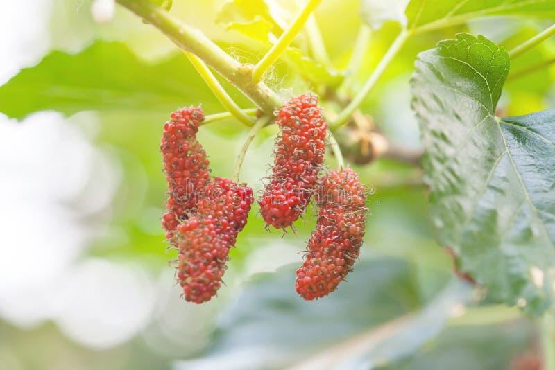 Mullbärsträdfrukt på trädet, bär i natur, royaltyfri fotografi