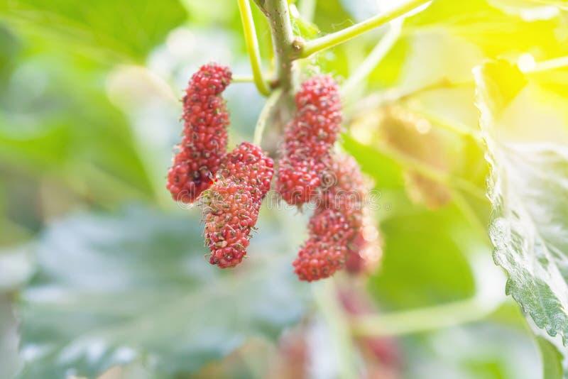 Mullbärsträdfrukt på trädet, bär i natur, royaltyfria foton
