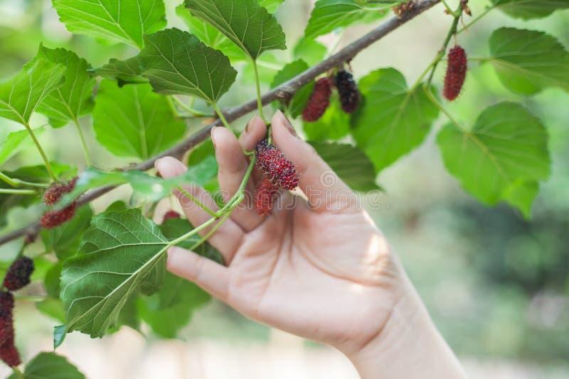 Mullbärsträdfrukt på trädet, bär i naturen som är selektiv royaltyfri bild