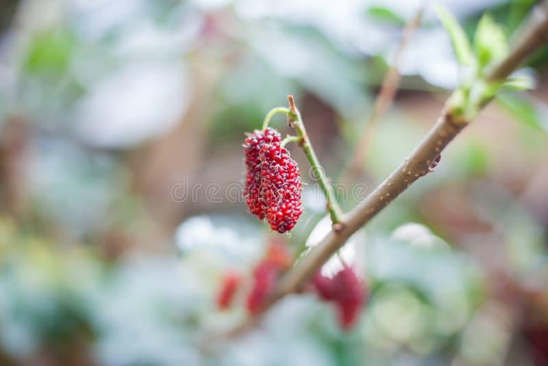 Mullbärsträdfrukt på trädet, bär i naturen som är selektiv arkivbild