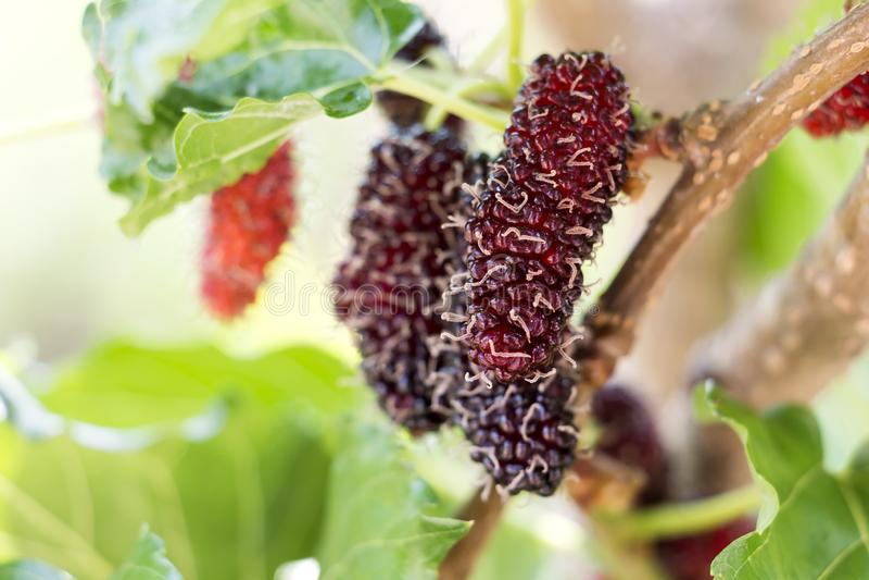 Mullbärsträdfruktträd och gröna sidor Nya söta svarta mullbärsträd, är det den bra källan av vitaminet för sunt på naturen arkivbilder