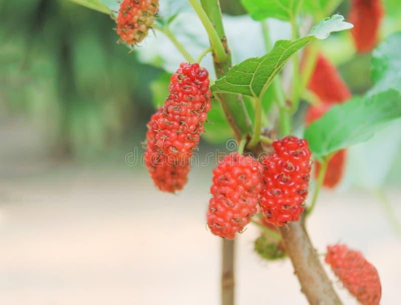 Mullbärsträdgrupp som hänger på filialen av trädet, sund bakgrund för modeller för natur för bärfrukt arkivfoto