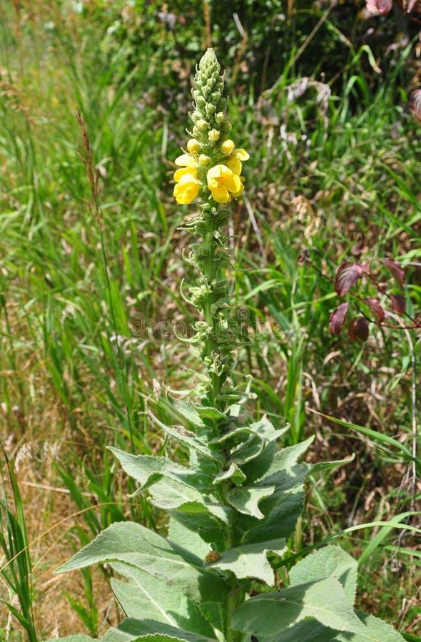 Mullein Denseflower (densiflorum Verbascum) стоковые изображения rf