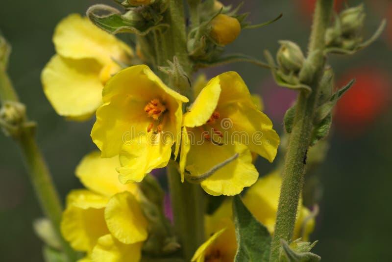 Mullein florecido denso (densiflorum del Verbascum) imagen de archivo
