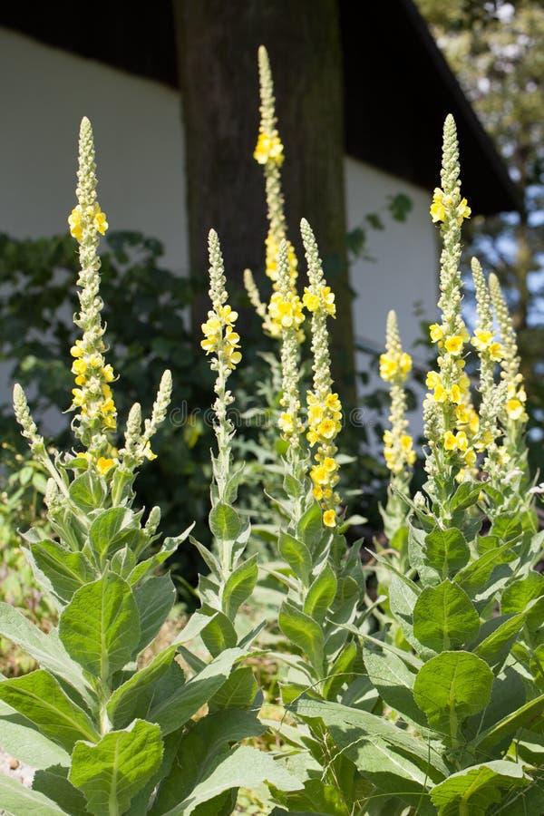 Mullein - Verbascum amarillo fotografía de archivo libre de regalías