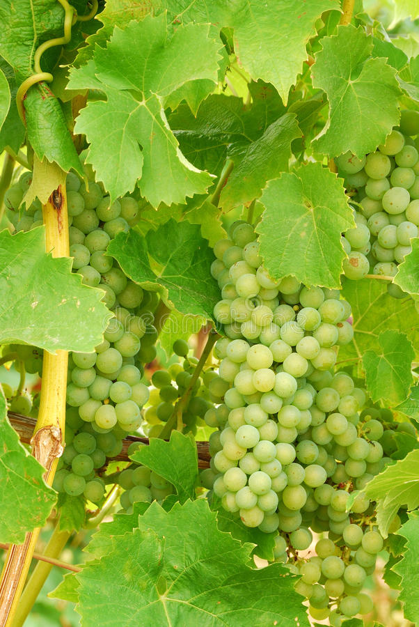 Muller Thurgau photo stock