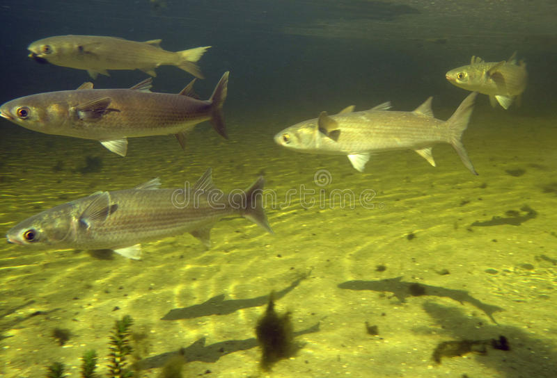 Mullet Feeding - Wakula Springs royalty free stock photography