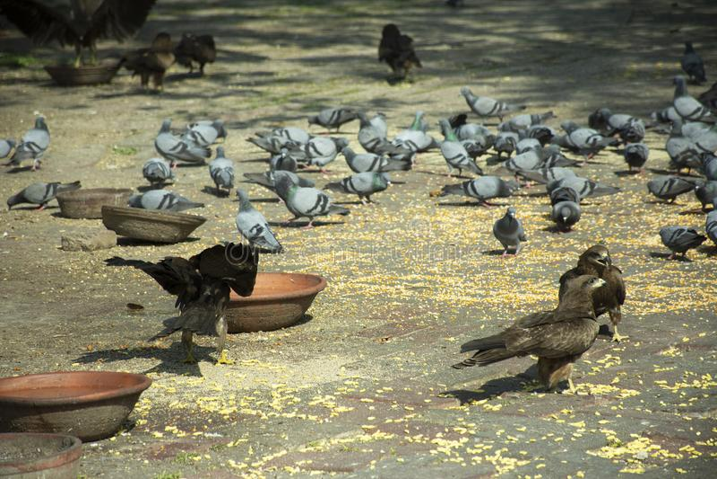Multa dos pássaros do pássaro e da pomba do falcão e alimento comer no assoalho ao lado da estrada no campo rural na cidade de De fotografia de stock royalty free