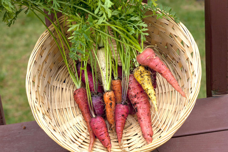 Multi cenouras coloridas. foto de stock