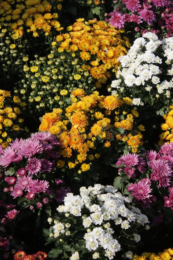 the multi color  chrysanthemum flowers wallpaper background. royalty free stock images