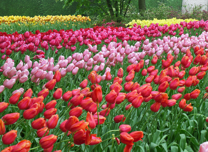 Multi-color Tulip Flowers blowing in the wind stock photo