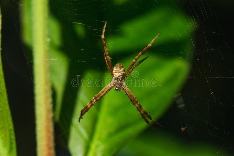 Multi-colored Argiope Spider is knitting fiber. To trap insects in nature stock photos