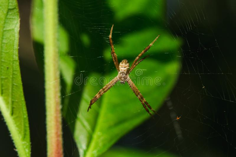 Multi-colored Argiope Spider is knitting fiber. To trap insects in nature royalty free stock photo