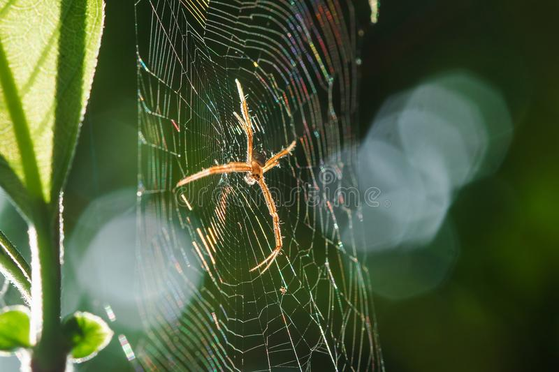 Multi-colored Argiope Spider is knitting fiber. To trap insects in nature royalty free stock image