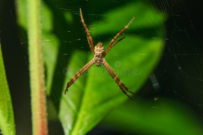 Multi-colored Argiope Spider is knitting fiber. To trap insects in nature stock images