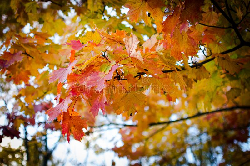 Multi-colored autumn maple leaves. In a beautiful park of trees stock photos