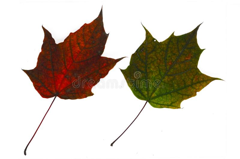Multi-colored autumn maple leaves close-up. Isolated over white background stock photography