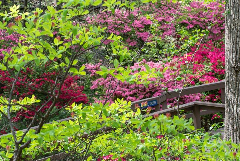 Wild Azalea Flowers. Multi-colored azalea flowers in a mountain park located in the Appalachian Mountains of Western Virginia, USA royalty free stock photos
