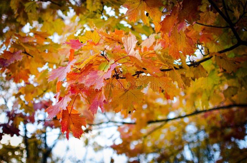 Multi-colored bladeren van de de herfstesdoorn stock foto's