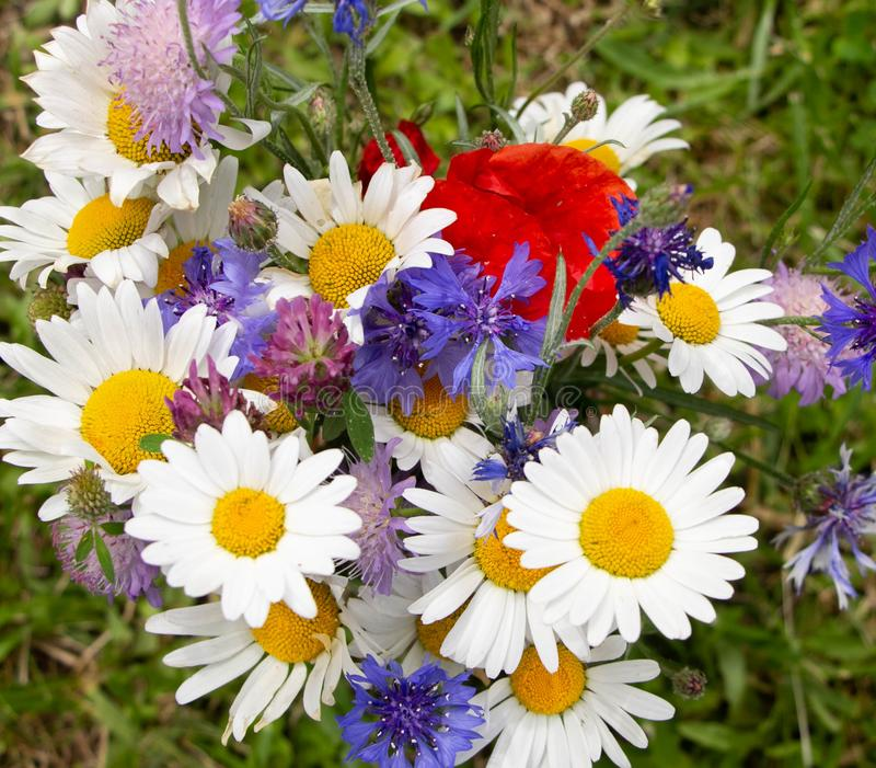 Multi-colored bouquet of wild wild flowers on a background of green grass. A bouquet of white daisies, red poppies, blue royalty free stock photo