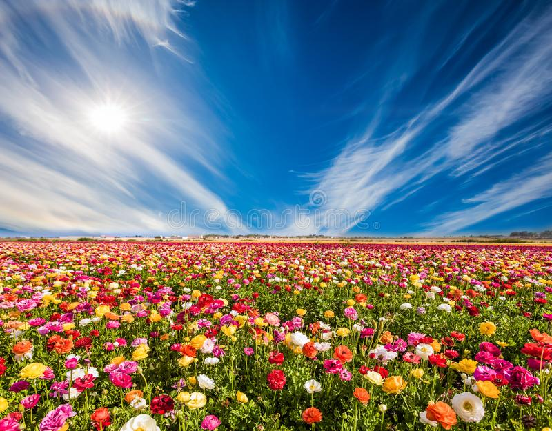 Multi-colored buttercups and cirrus clouds. South of Israel, summer day. Picturesque multi-colored garden buttercups and cirrus clouds. Greeting card. The royalty free stock images