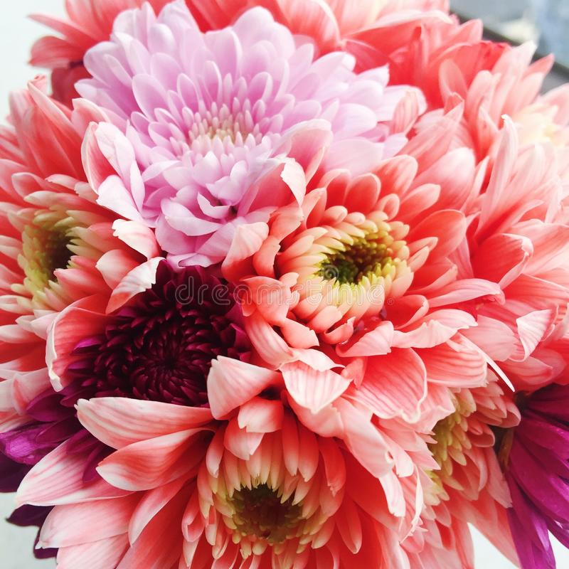 Multi colored Chrysanthemums flower royalty free stock images