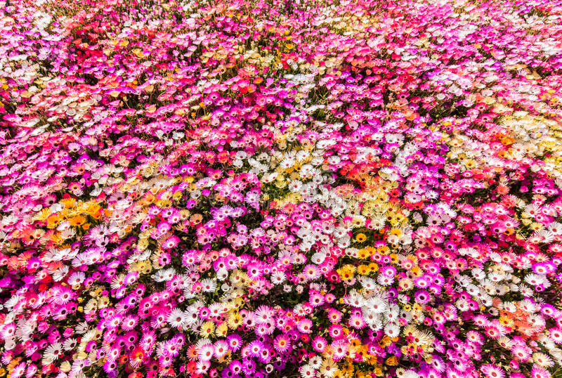 Flower Bed Of Sunlit Livingstone Daisies Stock Photo