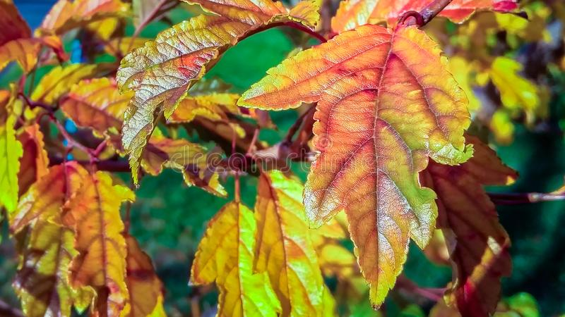 Multi-colored fall foliage, on a beautiful autumn afternoon in New York City, closeup. Multi-colored fall foliage on a beautiful autumn afternoon in New York royalty free stock images