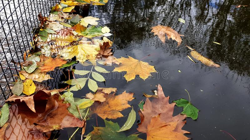 Multi colored fall leaves in water of pond in park. Autumn leaves are floating on smooth water surface near metal lattice. Fall seasonal leaf textures and stock image