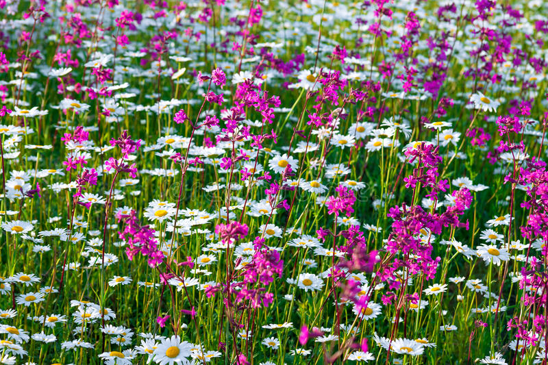 Multi colored flowers blossoming on a meadow stock images