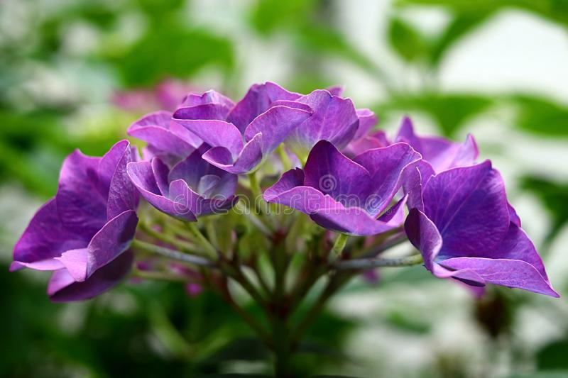 Multi colored hydrangea hortensia flower in close-up, purple bluish lilac colored ornamental flower royalty free stock photography