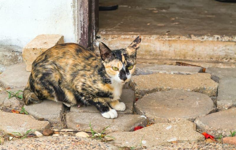 Multi-colored kat en gele strepen met gele ogen (Gestreept n stock foto's