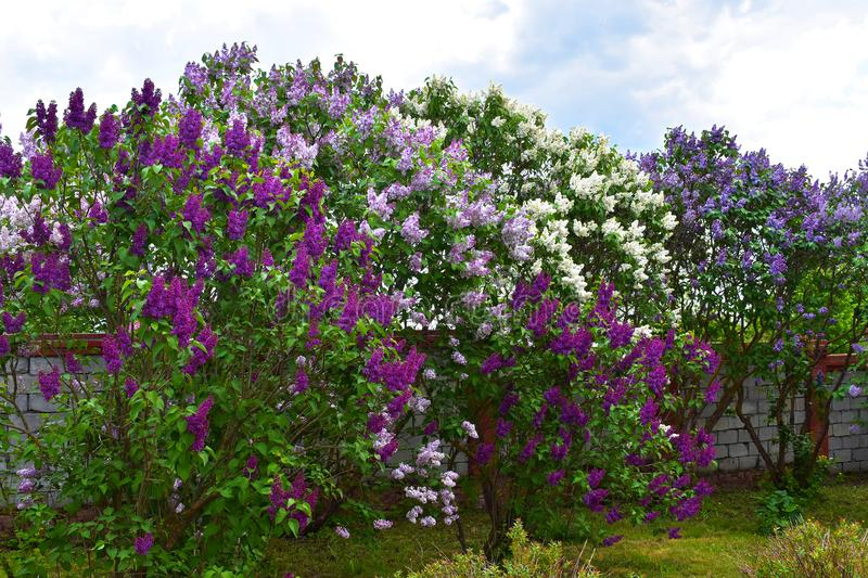Multi-colored lilac bushes. royalty free stock photography
