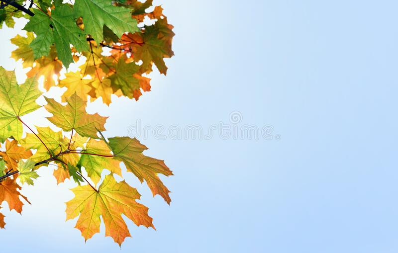 Multi-colored maple leaves against the blue sky stock images