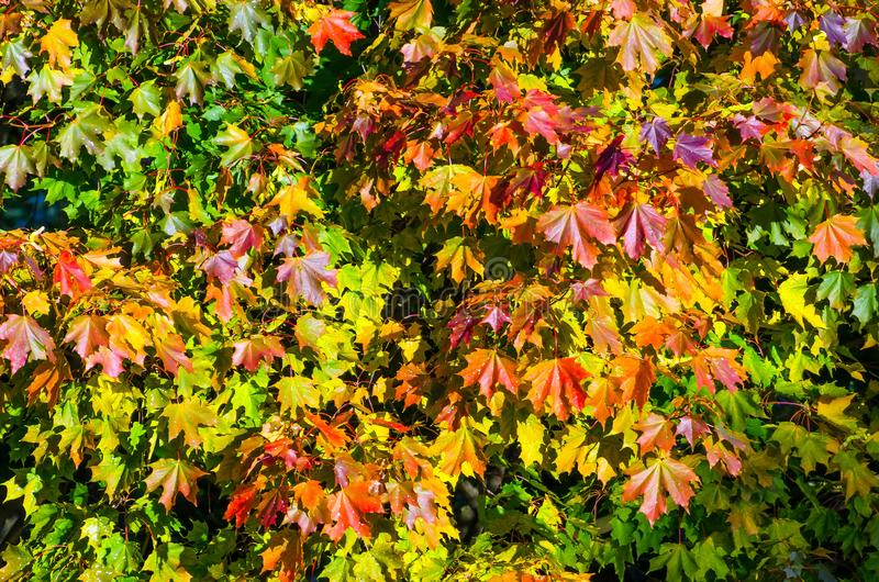 Multi colored maple leaves autumn on the tree crown. Multi colored maple leaves autumn on the tree crown stock photos