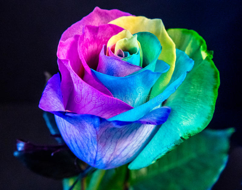 Rose blossom rainbow colors stock photo image of close for Rainbow colored rose
