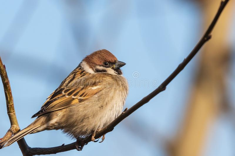 A multi-colored sparrow sits on a thin branch and looks at the photographer. Blue sky. Close-up. Wild nature royalty free stock photography