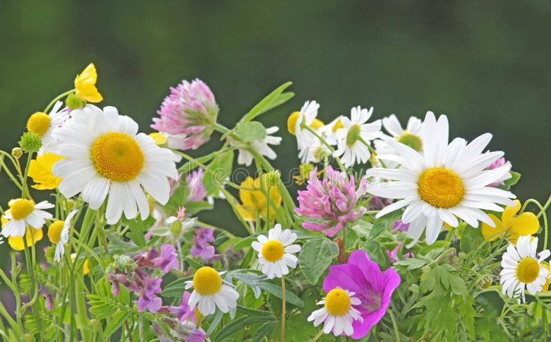 Multi colored wildflower meadow, blooming royalty free stock image