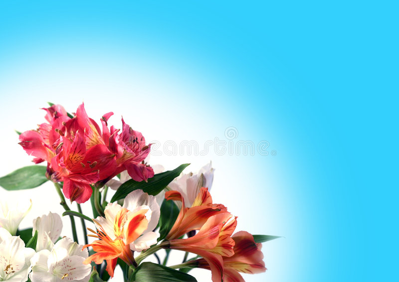 Multi-coloured flowers. Of alstroemeria on a white-blue background stock photos
