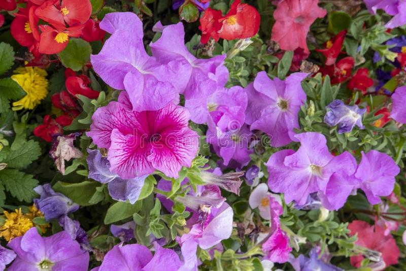 Glorious multi coloured Petunias. Multi coloured Petunias tightly packed together in a garden display royalty free stock photo