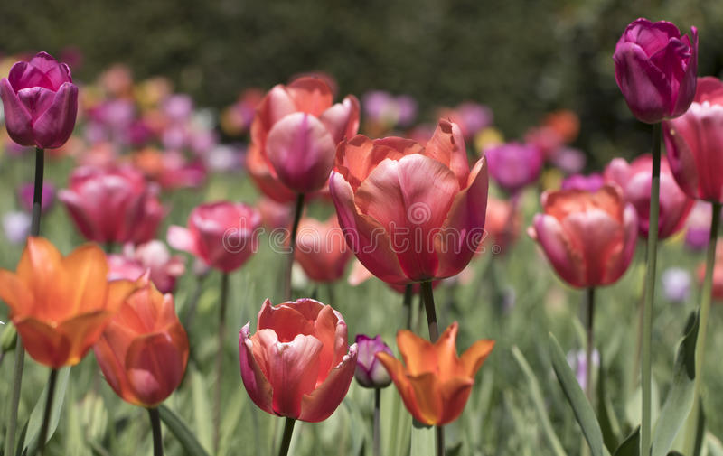 Multi coloured tulips. Multi coloured tulips in pinks and oranges royalty free stock images