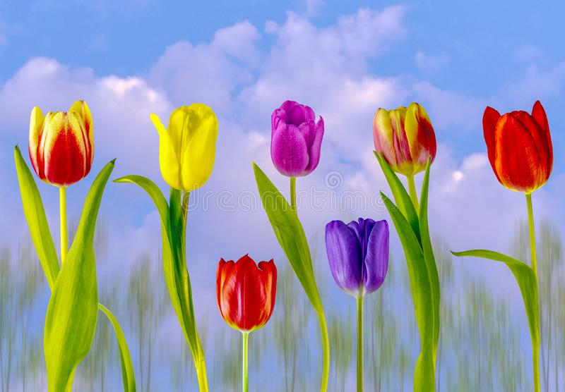 Multi coloured tulips. View of multi coloured tulips on a cloudy sky background stock photography