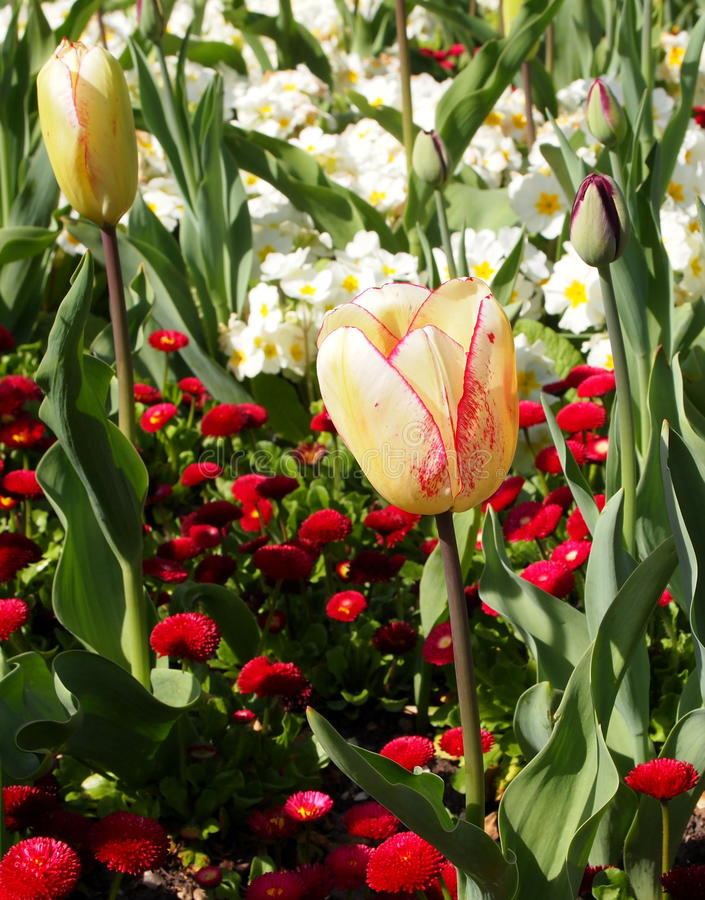 Multi-coloured tulp royalty-vrije stock afbeeldingen