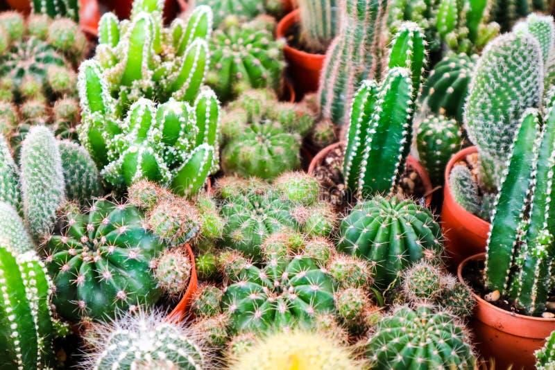 multi del cactus en el pote de la suciedad puesto en el terrario a la decoración y al interior foto de archivo libre de regalías